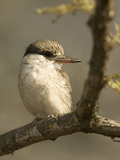 Striped Kingfisher  Halcyon Chelicuti  Africa