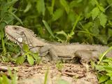 Green Iguana (Iguana Iguana)  Pantanal  Brazil