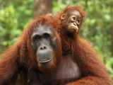 Borneo Orangutan Female with its Baby (Pongo Pygmaeus) Tanjung Puting National Park  Kalimantan