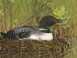 Common Loon (Gavia Immer) Sitting on Nest  Maine  USA