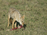 Golden Jackal Eating  Canis Aureus  Tanzania  Africa