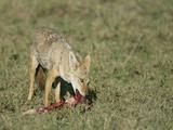 Golden Jackal Eating  Canis Aureus  Tanzania  Africa