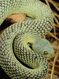 Bush Viper Snake (Atheris Squamiger) Green Phase  Africa