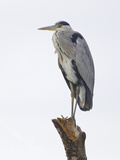 Gray Heron  Ardea Cinerea  Tanzania  Africa