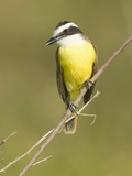 Great Kiskadee Flycatcher (Pitanga Sulphuratus)  Southwestern North America