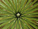 Bromeliad Leaf Pattern (Puya)  Puracâ» National Park  Department Cauca  Colombia
