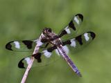 Male Twelve Spot Skimmer (Libellula Pulchella) Perched on a Stick