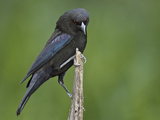Male Bronzed Cowbird (Molothrus Aeneus) Showing Ruff  Cozad Ranch  Linn  Texas  USA