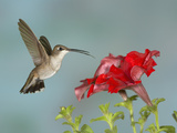 Black-Chinned Hummingbird (Archilochus Alexandri) Female Flying