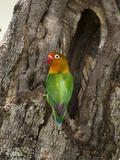 Fischer&#39;s Lovebird at its Nest Hole in a Tree Trunk (Agapornius Fischeri) Seregenti  Tanzania