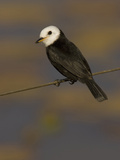 White-Headed Marsh Tyrant  Arundinicola Leucocephala  South America