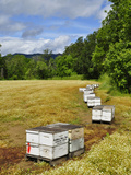 Bee Hive Boxes in Field of White Meadowfoam (Limnanthes Alba)