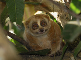 Slow Loris (Nycticebus Coucang)  Thailand