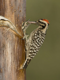 Ladder-Backed Woodpecker Male (Picoides Scalaris) Feeding Nestling in a Nest Cavity