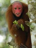 Red Bald-Headed Uakari Eating (Cacajao Calvus Rubicundus)  Lago Preto  Peru