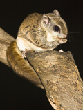 Northern Flying Squirrel (Glaucomys Sabrinus)  North America