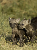 Spotted Hyena Juveniles at a Den Site  in the Masai Mara  Kenya