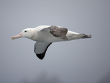 Wandering Albatross in Flight (Diomedea Exulans)  Falkland Islands