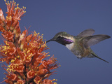 Male Lucifer Hummingbird Nectaring on Ocotillo Flowers  Western USA
