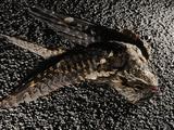 A Nightjar (Caprimulgus Europaeus) Killed by Cars  Europe