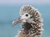 Laysan Albatross (Phoebastria Immutabilis) Chick  Midway Atoll National Wildlife Refuge  Hawaii