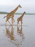 Adult and Young Masai Giraffe  Giraffa Camelopardalis  Walking in Lake Ndutu  Serengeti  Tanzania