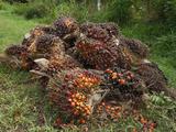 Harvested Oil Palm Fruits  Sabah  Borneo  Malaysia