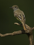 Great Crested Flycatcher  Myiarchus Crinitus  North America