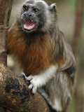 White-Footed Tamarin  Silvery-Brown Tamarin  or Bare-Faced Tamarin (Saguinus Leucopus)