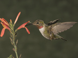 Broad-Tailed Hummingbird Male (Selasphoras Platycercus)