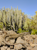 A Female of Tenerife Lizard (Gallotia Galloti) Basking  Tenerife  Canary Islands