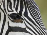 Close-Up of the Common Zebra Eye and Face Stripe Pattern  Equus Burchellii  Maasai Mara  Kenya