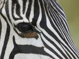 Close-Up of the Common Zebra Eye and Face Stripe Pattern  Equus Burchellii  Maasai Mara  Kenya
