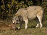 Gray Wolf (Canis Lupus) Feeding on White-Tailed Deer Carcass  Seacrest Wolf Preserve  Florida  USA