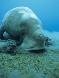 Dugong (Dugong Dugon) Feeding on Sea Grass