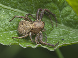 Transverse-Banded Crab Spider (Xysticus Transversatus)