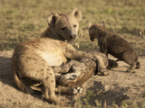 Spotted Hyena at Den Opening with Young Nursing (Crocuta Crocuta)  Serengeti National Park