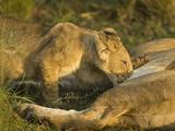 African Lion Cub Nursing (Panthera Leo)  Masai Mara  Kenya