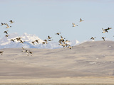 Pintail Ducks (Anas Acuta)  Rocky Mountains  Montana  USA