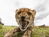 Cheetah Cub Snarling (Acinonyx Jubatus)  Masai Mara  Kenya