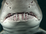 Sand Tiger Shark (Carcharhinus Taurus)  California  USA