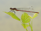 Male Large Red Damselfly (Pyrrhosoma Nymphula)  Italy