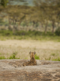 Spotted Hyena Resting and Watching on a Kopje Rock (Crocuta Crocuta)  Serengeti National Park