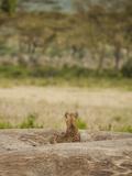 Spotted Hyena Resting and Watching on a Kopje Rock (Crocuta Crocuta)  Serengeti National Park