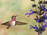Calliope Hummingbird (Stellula Calliope) Male Flying at Salvia (Salvia Guaranitica)