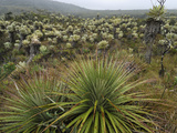 Bromeliads (Puya) and Frailejon (Espletia)  Puracâ» National Park  Department Cauca  Colombia