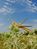 A Mediterranean Slant-Faced Grasshopper (Acrida Ungarica) in Habitat  Italy