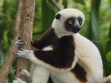 Coquerel&#39;s Sifaka Face (Propithecus Coquereli)  Ankarafantsika National Park  Madagascar