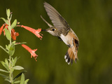 Rufous Hummingbird Immature Male (Selasphorus Rufus) Feeding at Zauschneria Latifolia Flowers  USA