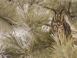 Long-Eared Owl (Asio Otus) in Pine Tree